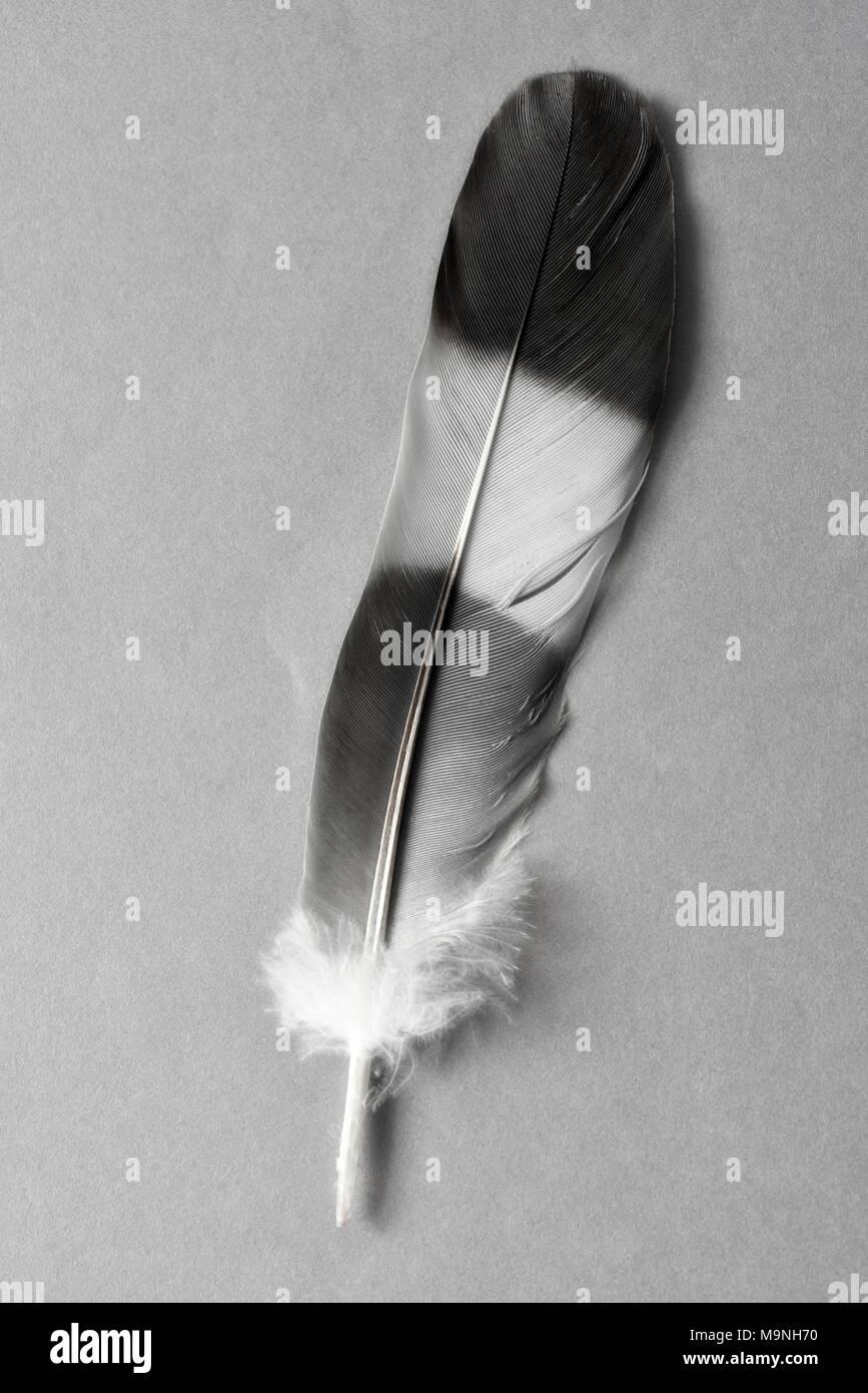 Plume d'oiseau de nuances de gris de gris Photo Stock