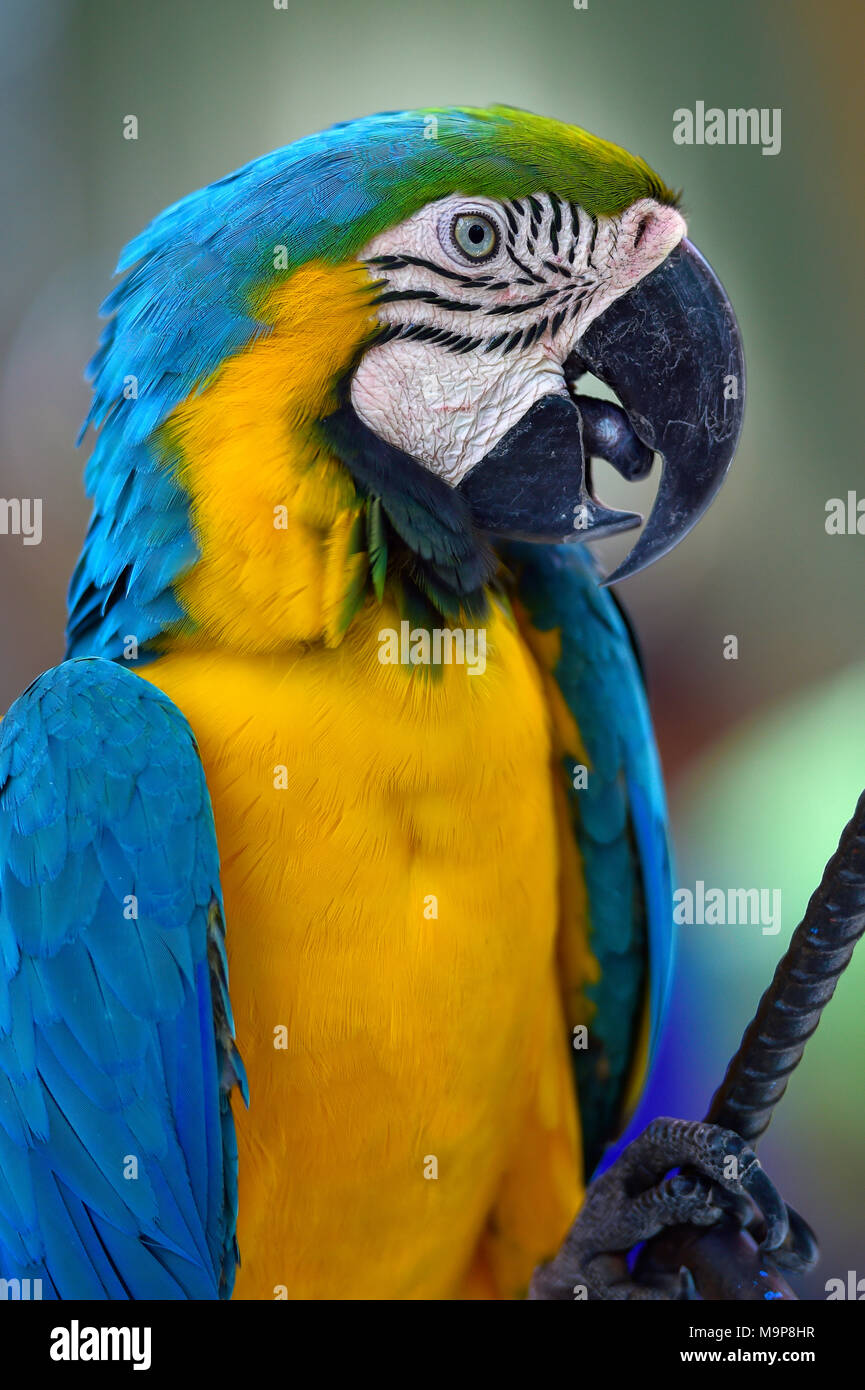 Ara bleu et jaune (Ara ararauna), des animaux en captivité, portrait, Photo Stock