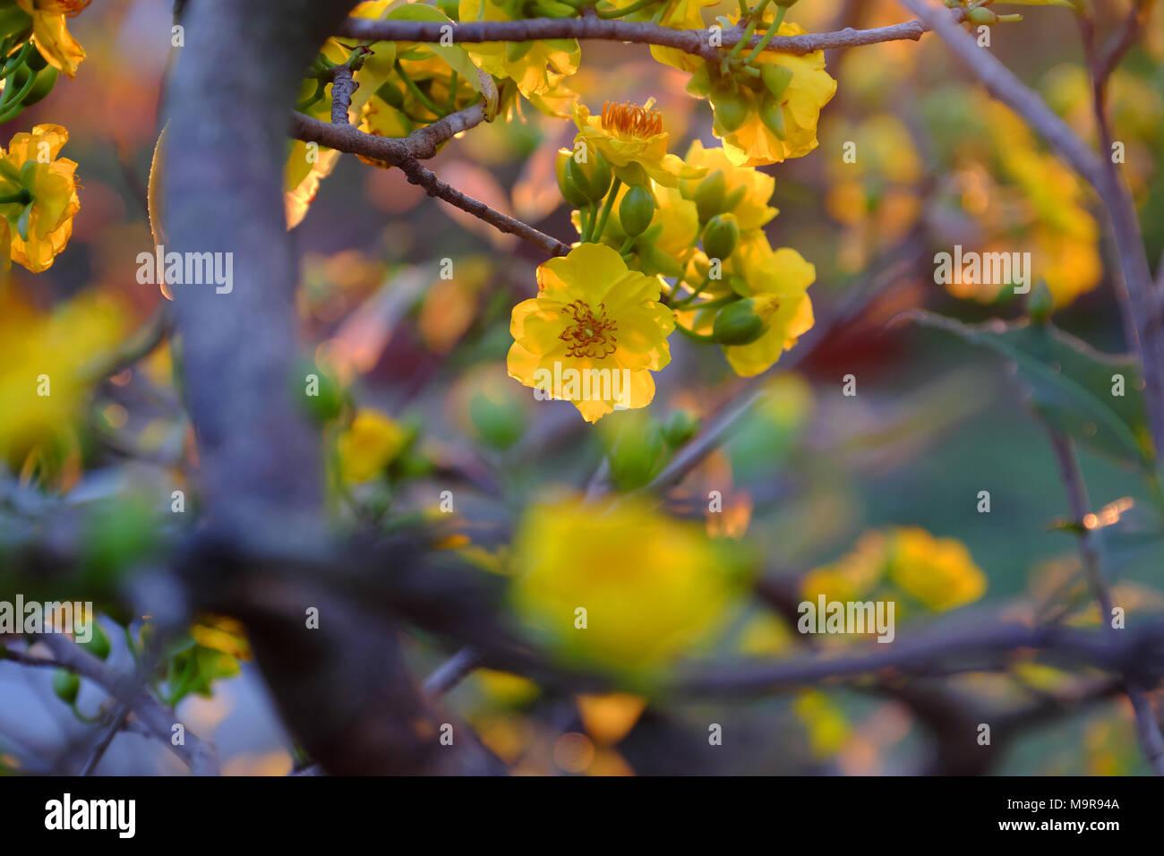 Close Up Of Yellow Apricot Blossom Sur Branche D Arbre A Marche Aux