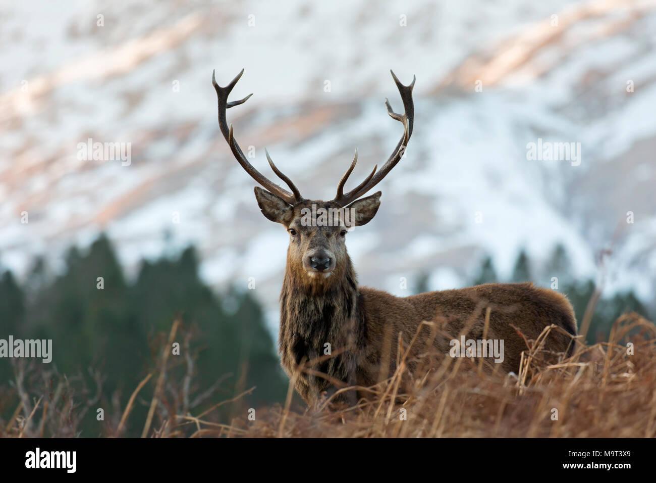 Red Deer stag / homme (Cervus elaphus) sur la lande dans les collines en hiver dans les Highlands, Ecosse, Royaume-Uni Photo Stock