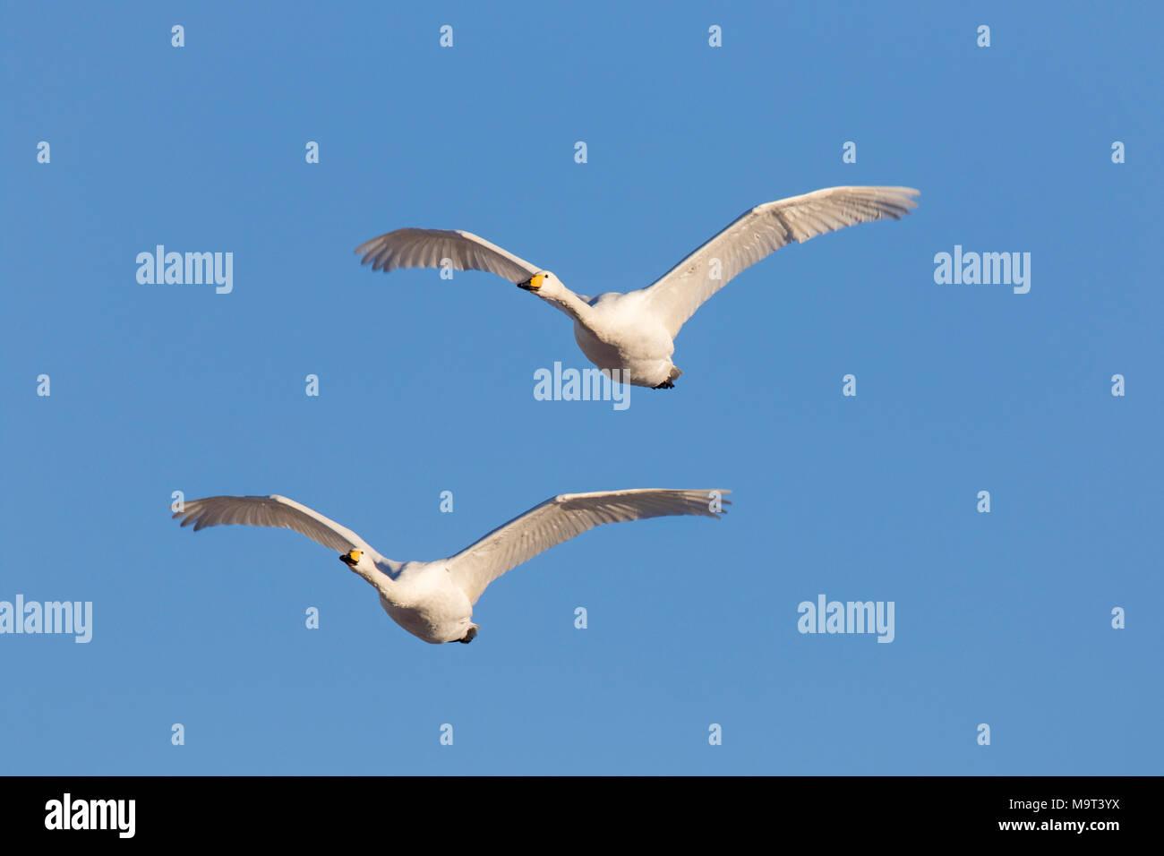 Deux cygnes chanteurs (Cygnus cygnus) en vol sur fond de ciel bleu Photo Stock