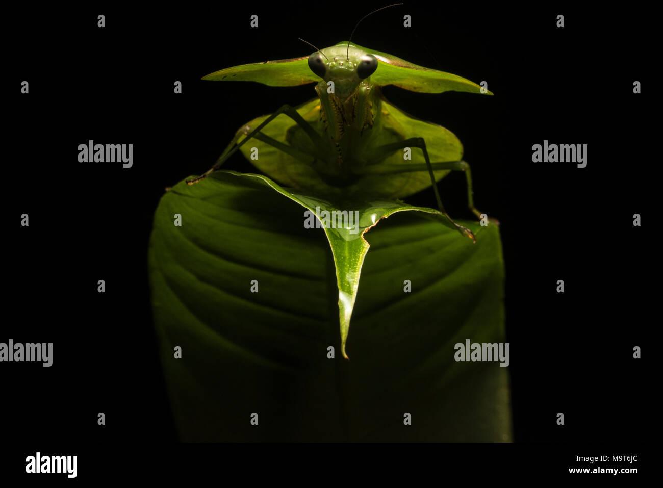 Un bouclier péruvienne se trouve sur une feuille mantis dans la jungle, en utilisant un flash externe atteint un effet de rétro-éclairage qui fait le plus spectaculaire mantis Photo Stock