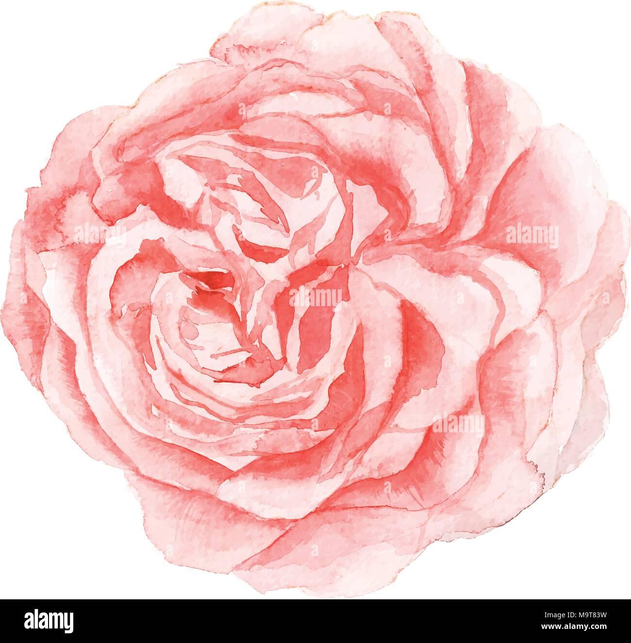 La Peinture De Fleur Rose Aquarelle Isole Sur Fond Blanc Vecteurs Et