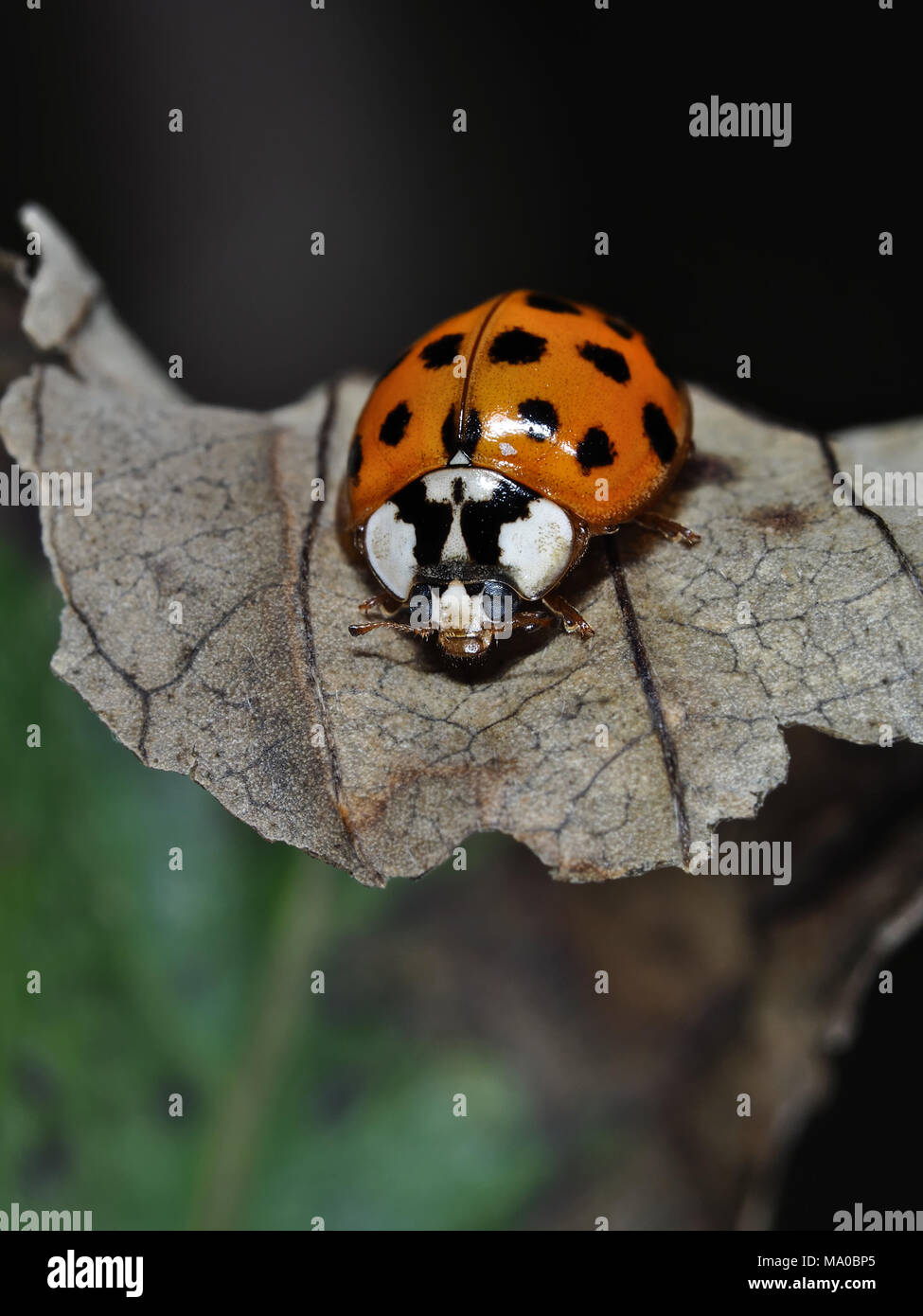 Ladybeetle asiatiques (Harmonia axyridis) sur une feuille, close-up view Photo Stock