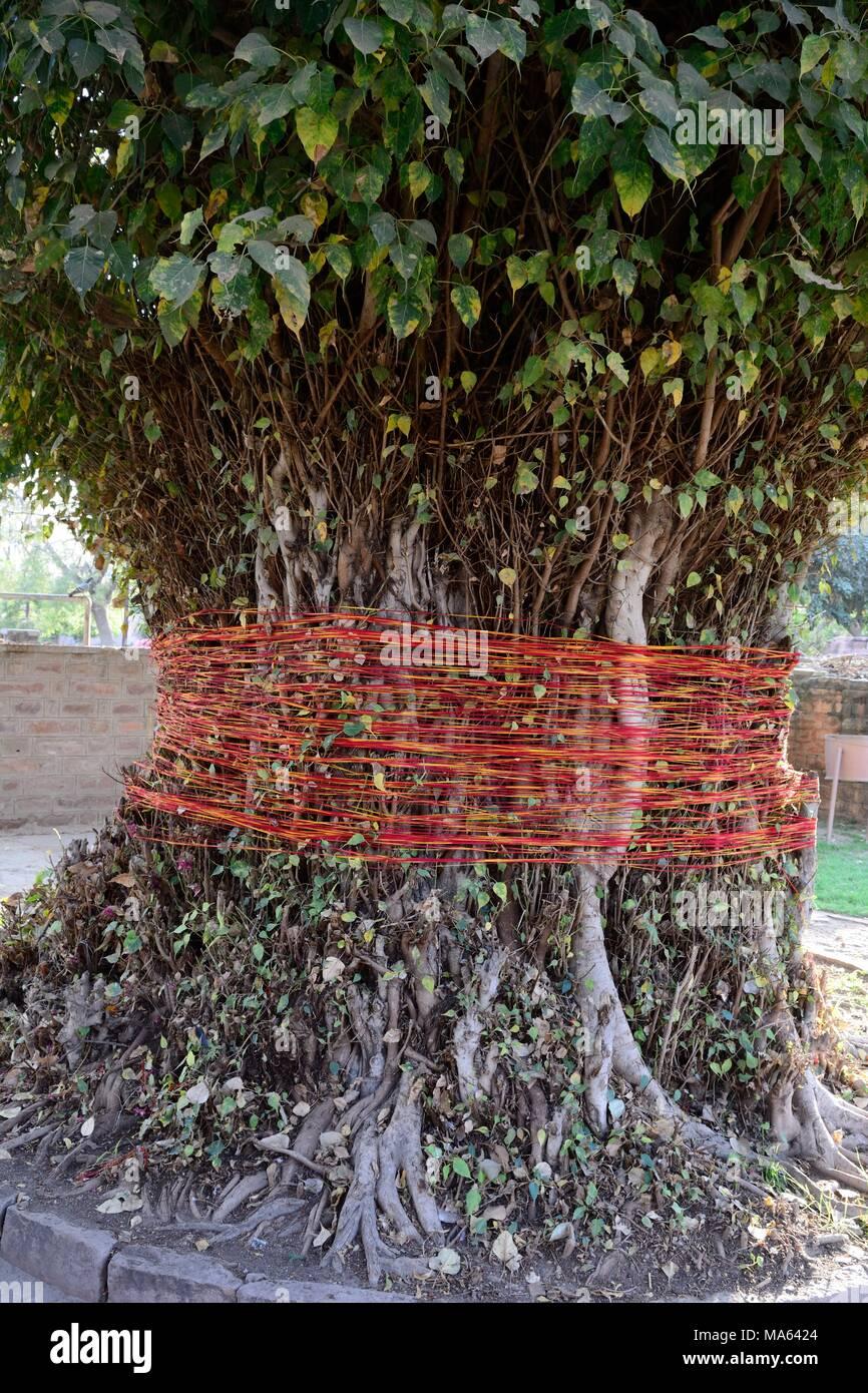 Arbre des désirs où un ruban est attaché autour d'un arbre et un supprimé si le souhait est accordé Jardins de Mandore Jodhpur Inde Rajashan Banque D'Images