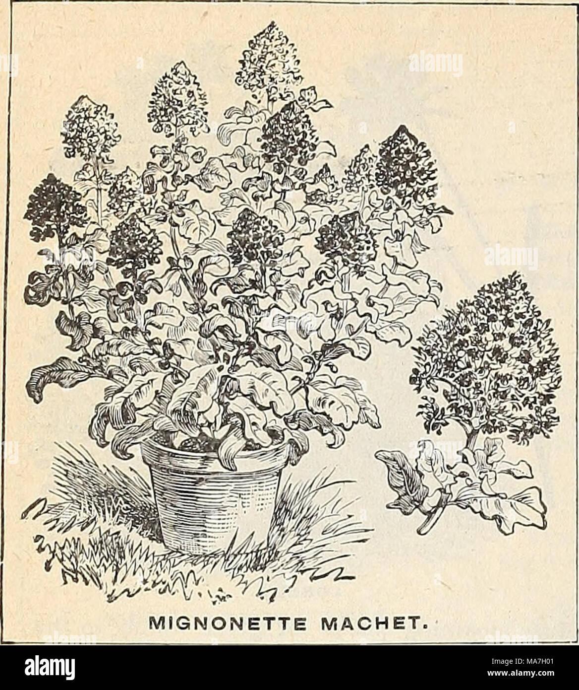 . E. H. Hunt: seedsman . Mignonnette. La mignonnette est un favori universel sur l'ac- compte de son doux et délicat parfum. HA. JVi. Machet. O f pyramidale nain hab- il, épais les tiges de fleurs, se terminant dans spikesof larges fleurs rouge très parfumé. La meilleure variété pour pot cul- ture - Parsons blanc. Une forte croissance, flow- ers grande, presque blanc - Golden Queen. Or fleurs vel- faible. Pyramide dense- al'habitude - spirale hybride. Une très forte croissance, la production de fleur Photo Stock