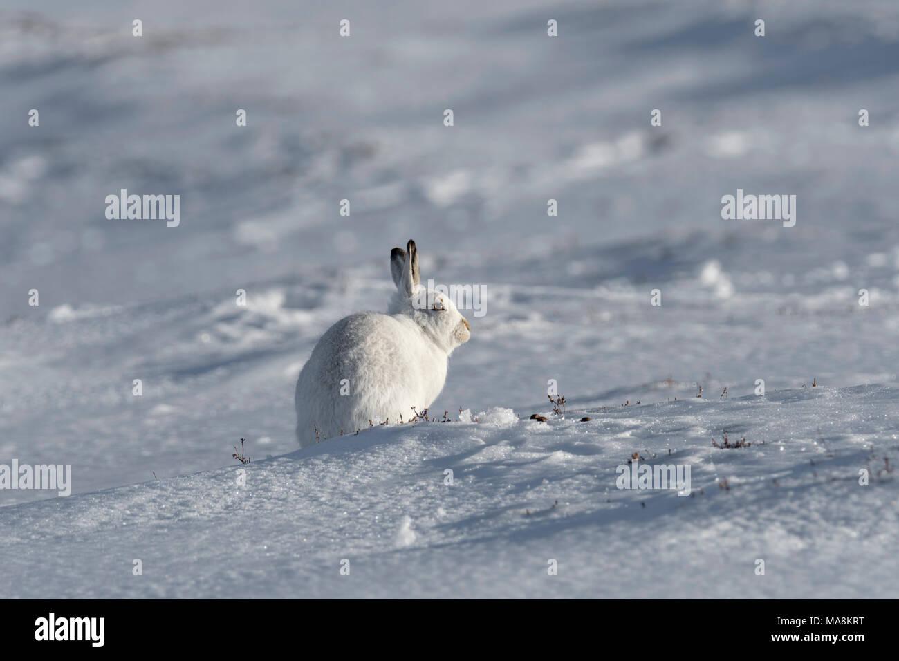 Lièvre variable (Lepus timidus) assis sur une colline couverte de neige dans les Highlands écossais, mars 2018 Photo Stock