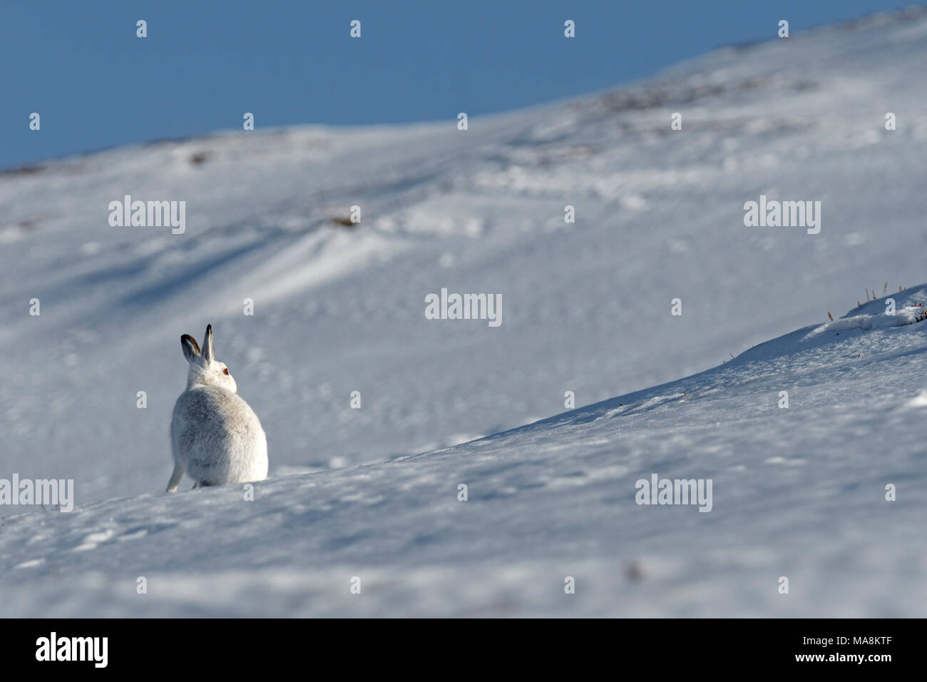 Grand angle de vue d'un lièvre variable (Lepus timidus) assis sur une colline couverte de neige dans les Highlands écossais, mars 2018 Photo Stock