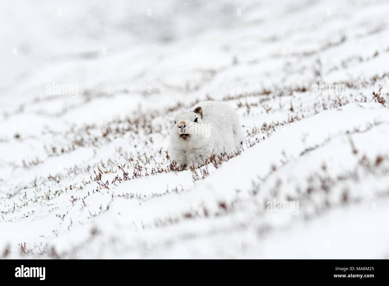 Lièvre variable (Lepus timidus) sur une colline couverte de neige dans les Highlands écossais, mars 2018 Photo Stock