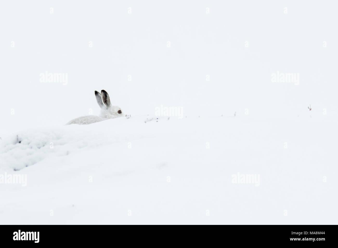 Lièvre variable (Lepus timidus) bien camouflée sur colline couverte de neige dans les Highlands écossais, mars 2018 Photo Stock