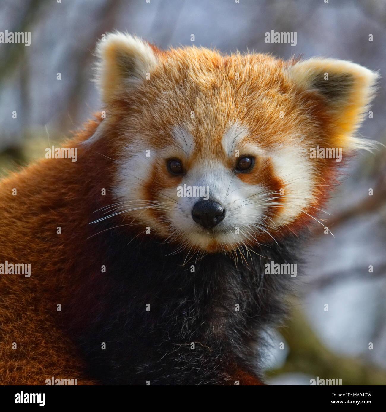 Le panda rouge Photo Stock