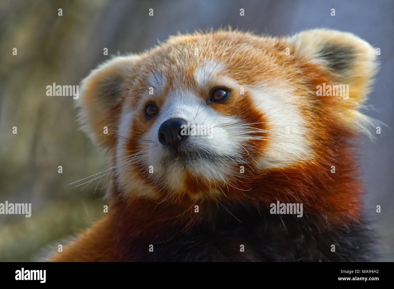 Le panda rouge Banque D'Images