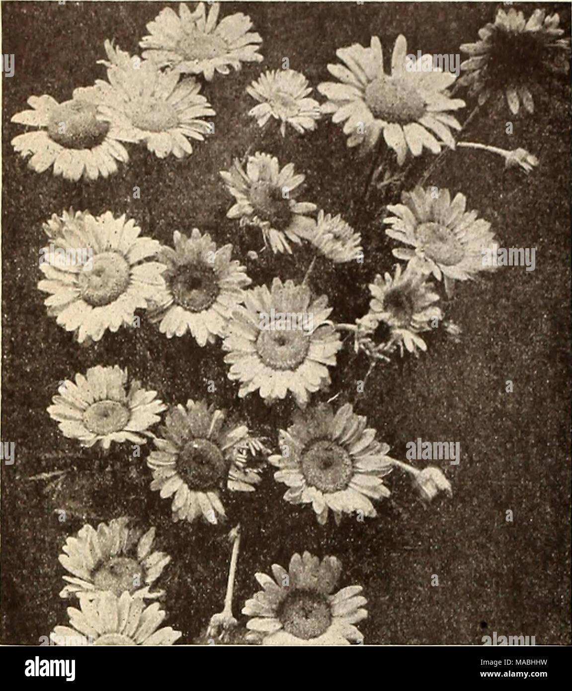 anthemis tinctoria alba photos & anthemis tinctoria alba images - alamy