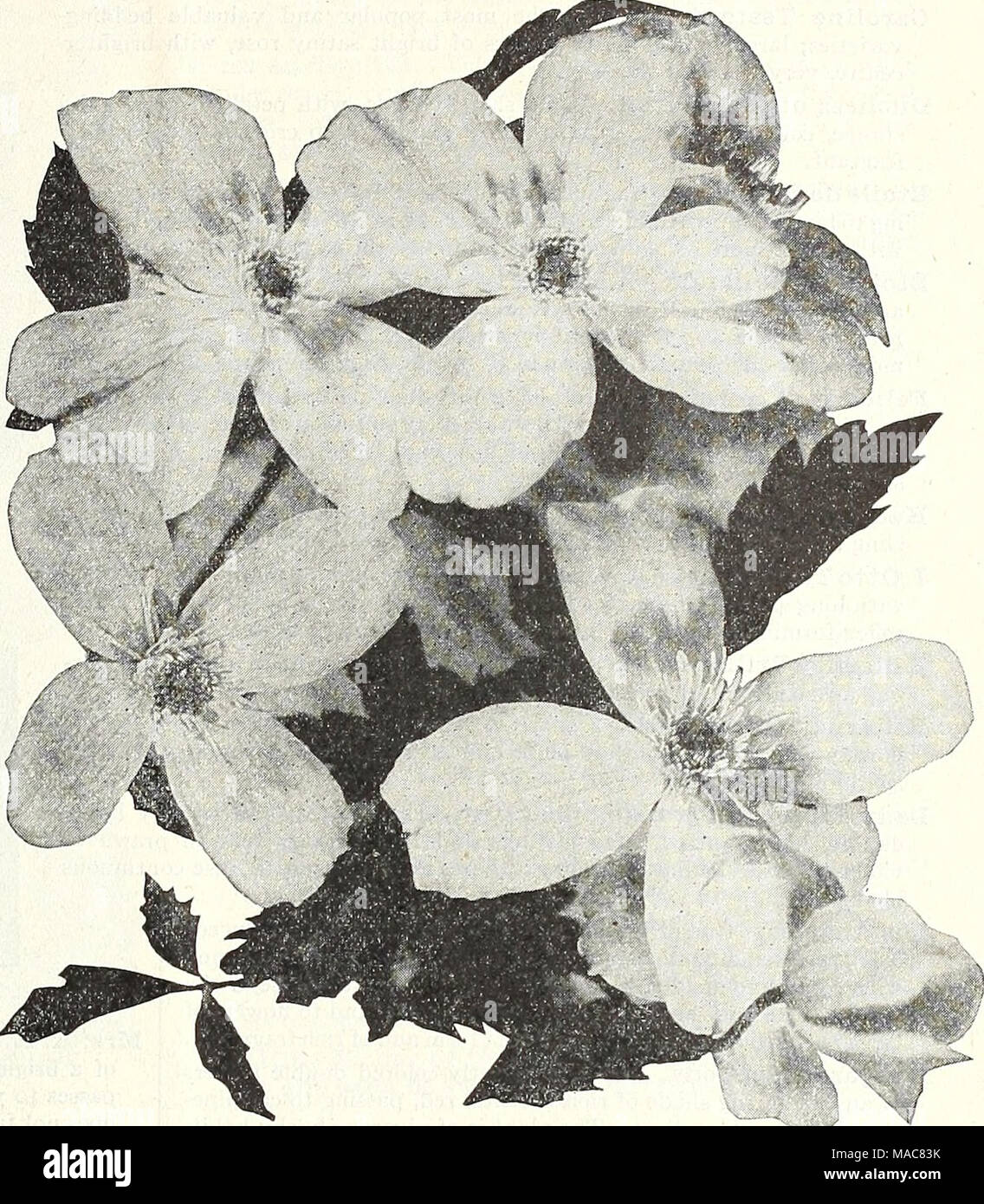 Planter Un Lilas En Pot du milieu de l'été 1931 dreer liste . clematis montan