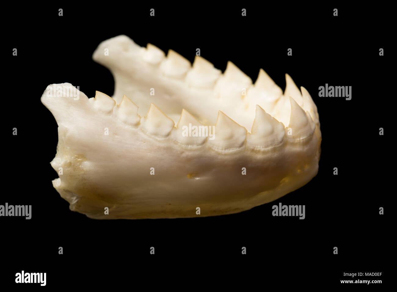 La mâchoire inférieure d'un piranha, poisson noir Serrasalmus rhombeus, montrant les dents triangulaires dentelées, le Suriname, l'Amérique du Sud. Photo Stock