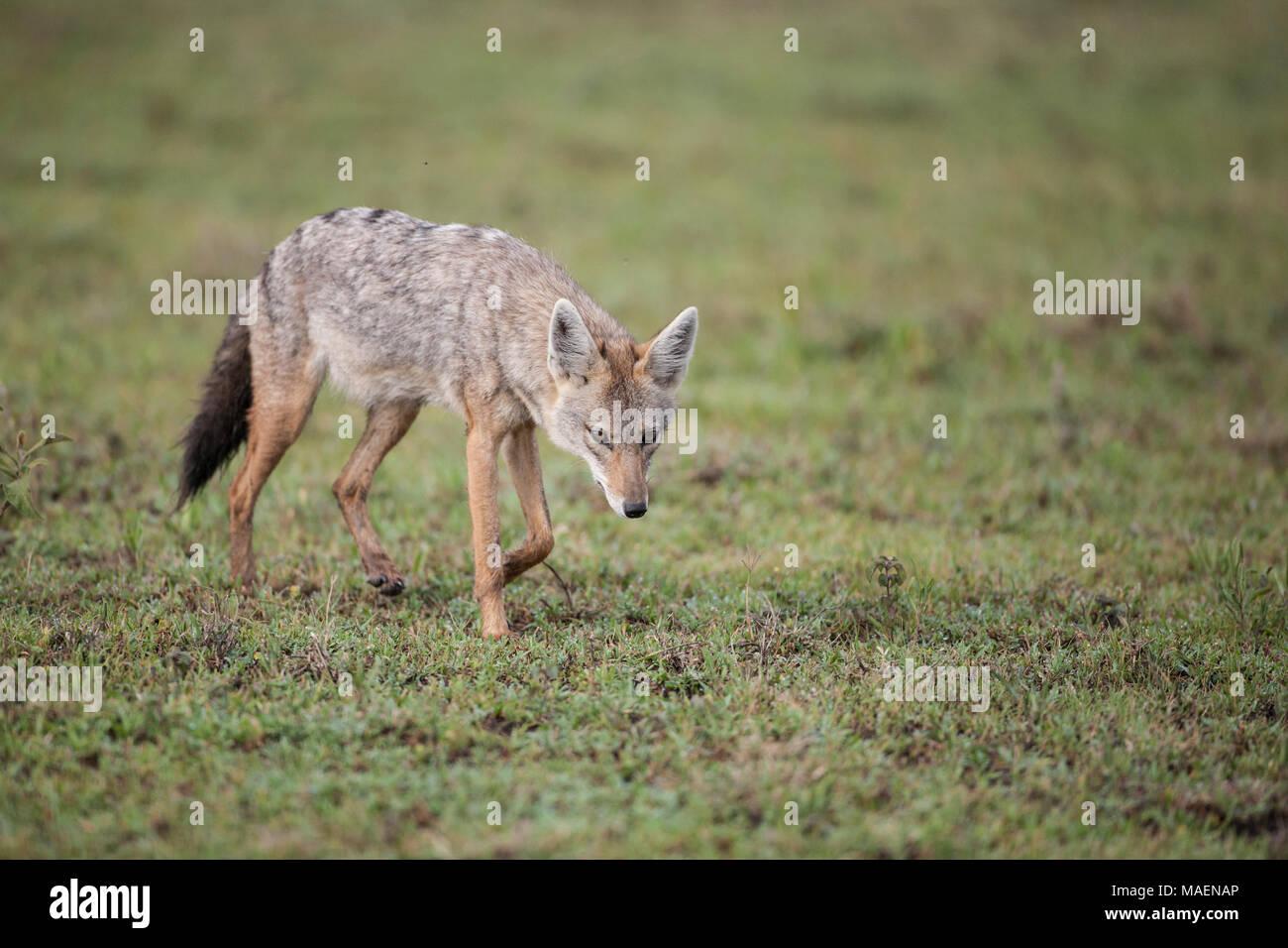 Le chacal doré ou chacal commun Canis aureus prowling les prairies ouvertes en Tanzanie Banque D'Images