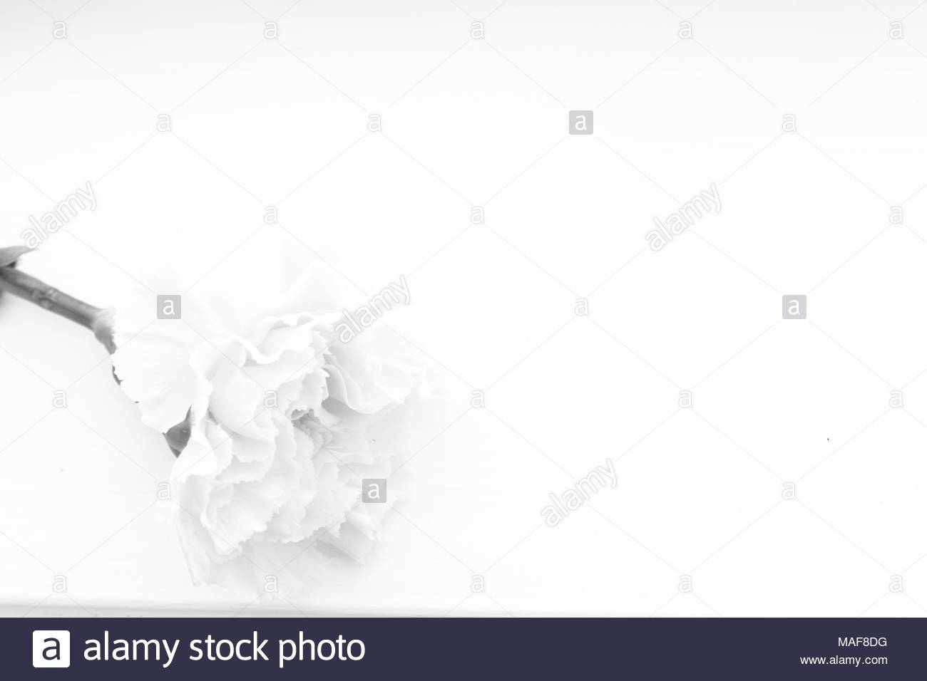 Seul oeillet blanc sur fond blanc Modèle de sympathie, condoléances ou d'invitation de mariage Photo Stock
