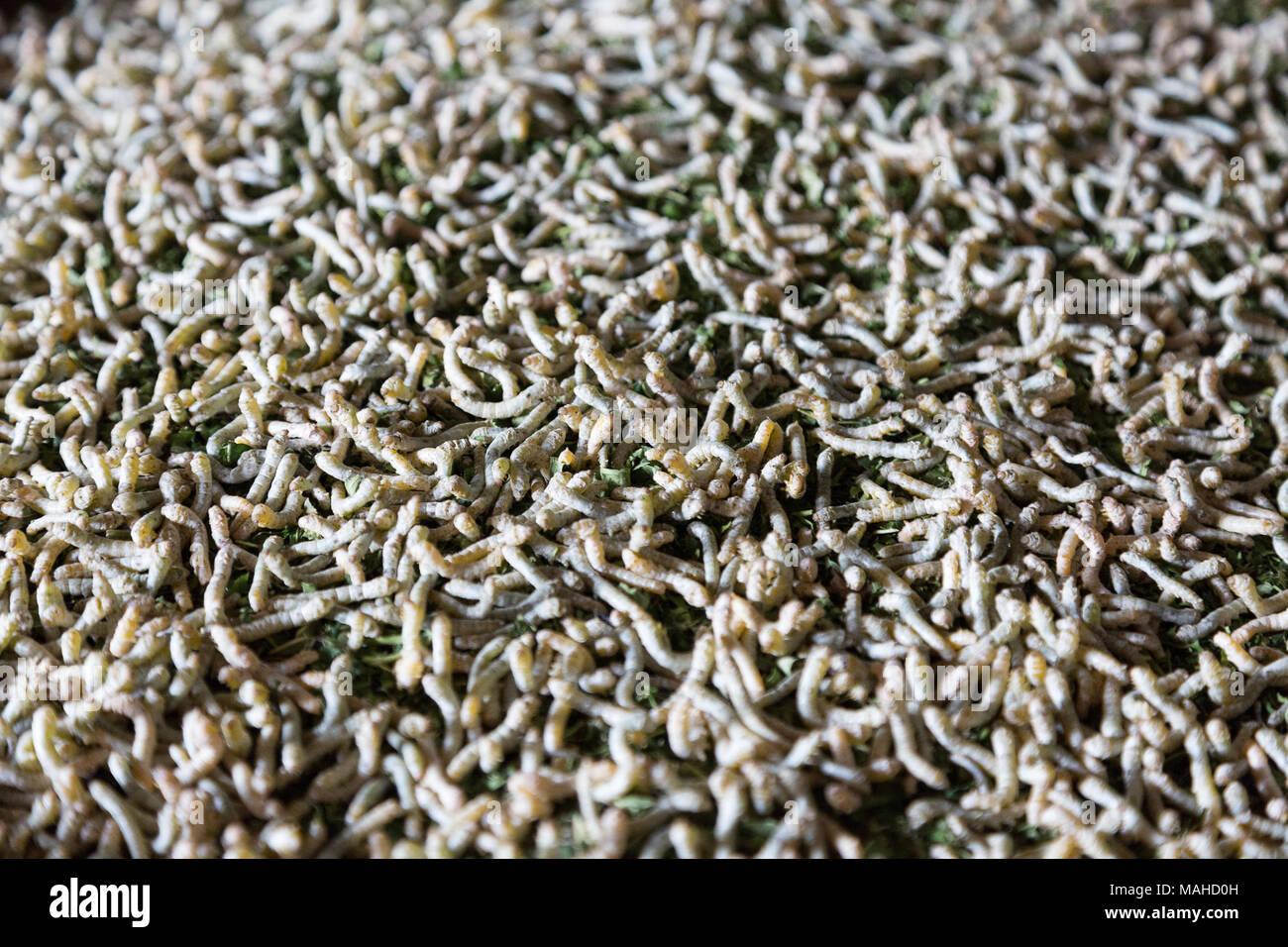 Vers à soie - close up de vers à soie, la larve, Caterpillar ou l'imago de l'silkmoth ( Bombyx mori ), dont la soie est faite; Kampong Thom, Cambo Photo Stock