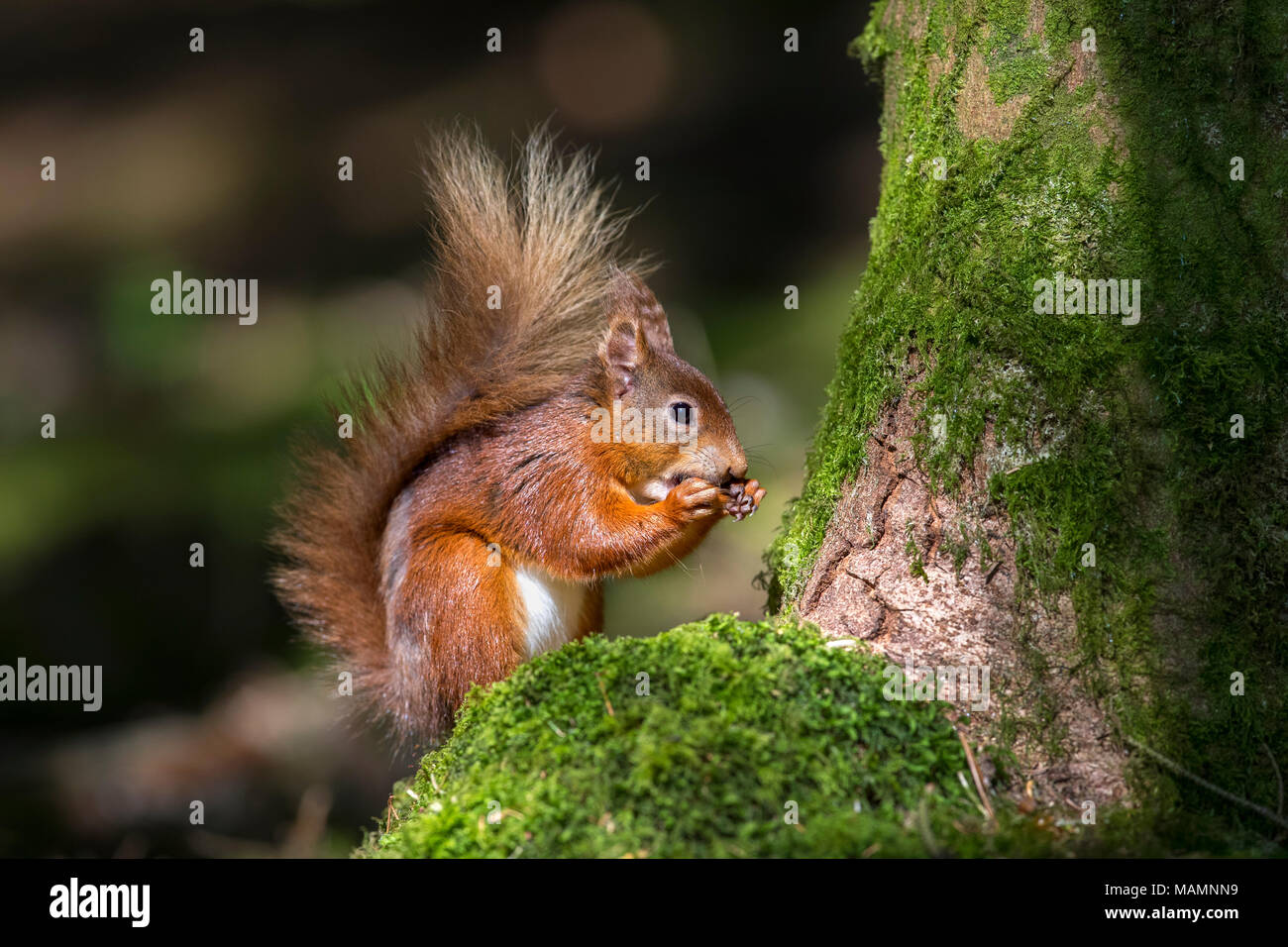 L'Écureuil roux, Sciurus vulgaris seul manger Yorkshire ; UK Photo Stock