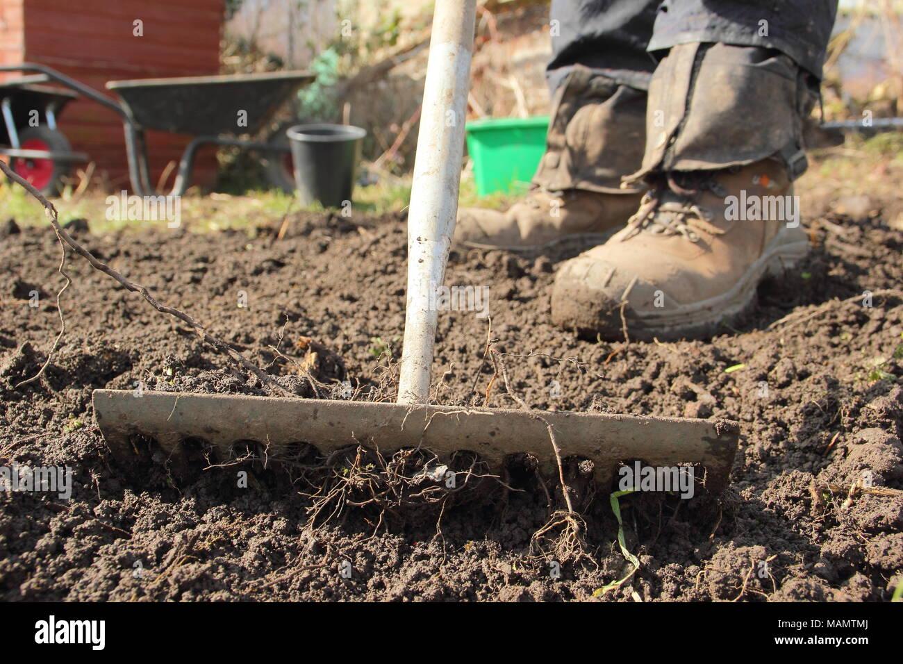 Chauffeur particulier à tête niveau utilise râteau pour briser le sol et retirer les mauvaises herbes dans un lit de légumes à l'avance de la plantation, au début du printemps, UK Photo Stock