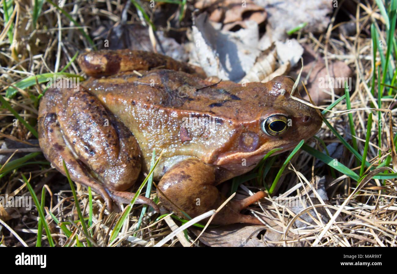 Grenouille commune à l'état sauvage sur les feuilles sèches dans l'herbe . La grenouille rousse Rana temporaria - semi-aquatique est un amphibien de la famille des ranidés Banque D'Images