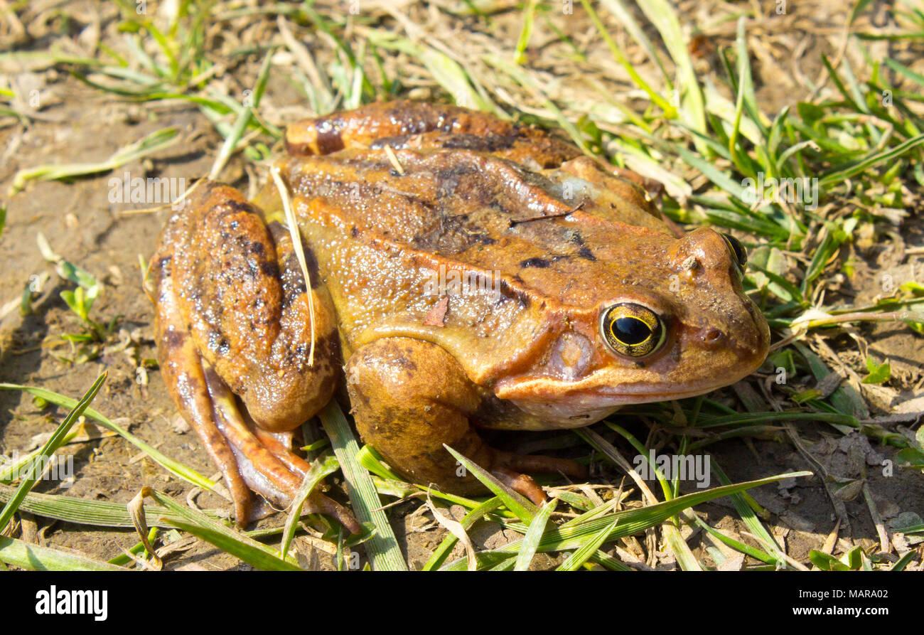 Grenouille commune à l'état sauvage dans l'herbe verte . La grenouille rousse Rana temporaria - semi-aquatique est un amphibien de la famille des ranidés Banque D'Images