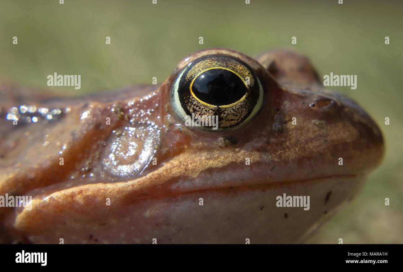 Détail oeil grenouille rousse. La grenouille rousse Rana temporaria - semi-aquatique est un amphibien de la famille des ranidés Banque D'Images