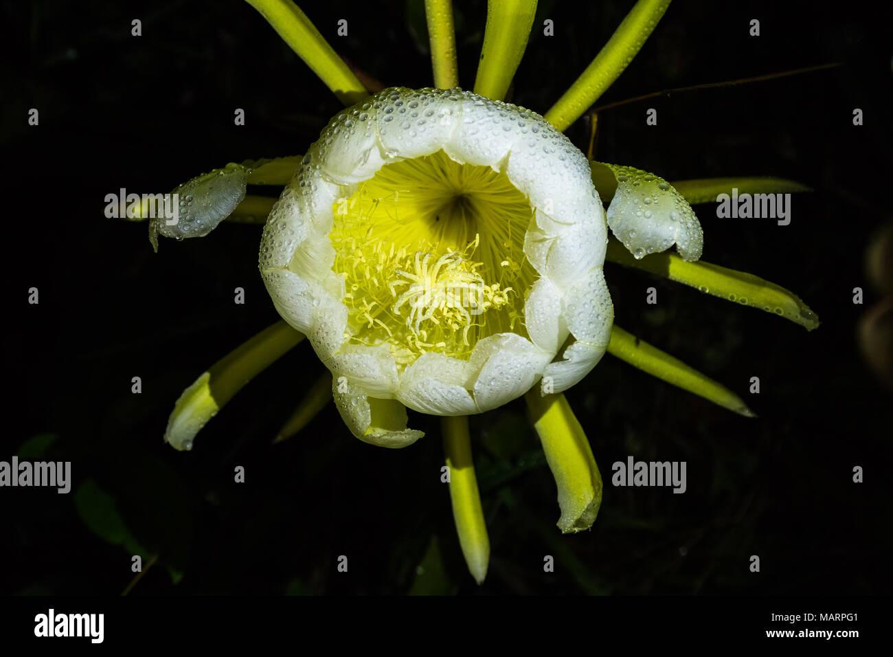 Fleur De Pitahayas Immense Fleur Qui S Ouvre Seulement La Nuit Qu