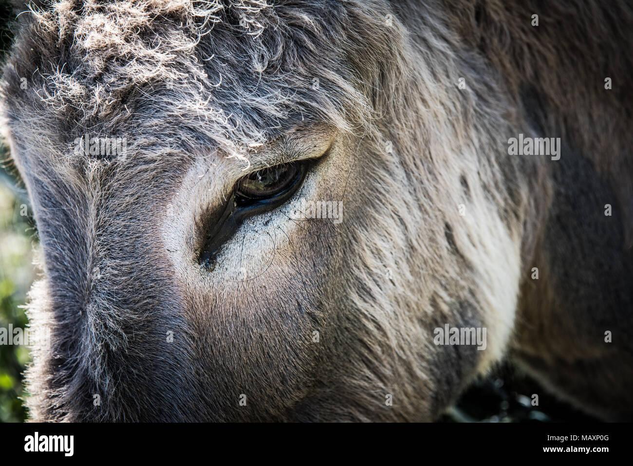Close up portrait of a donkey's eye Photo Stock