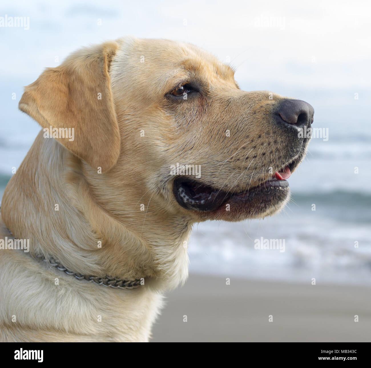 Close up un Labrador Photo Stock