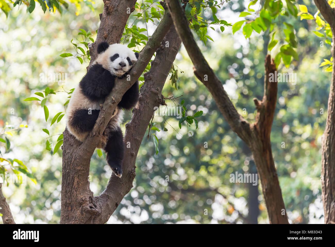 Panda cub dormir dans un arbre, Chengdu, Chine Photo Stock
