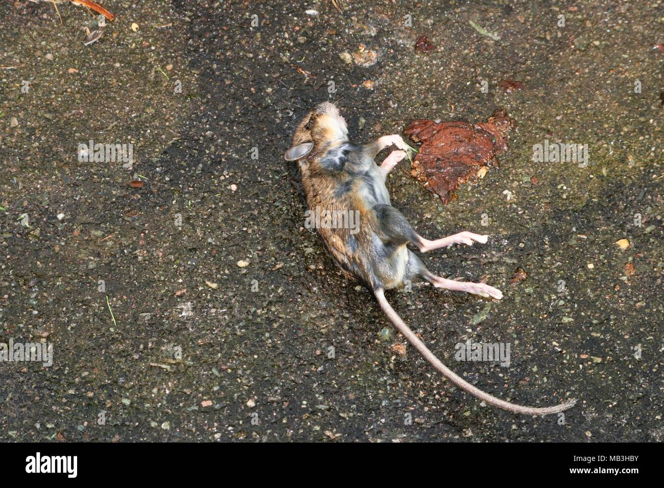 Raide mort sur le sol en béton à l'extérieur de la souris Photo Stock