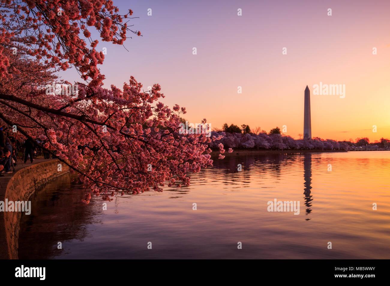 Soleil sur le bassin de marée au cours de la floraison des cerisiers en fleur Photo Stock