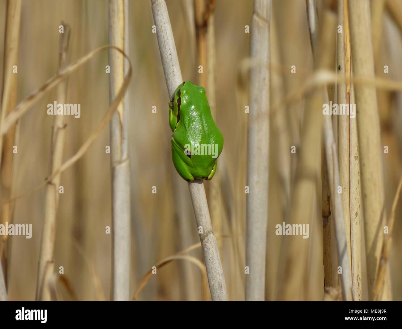 Seul petit européen vert grenouille d'arbre - Hyla arborea sur l'ancienne reed Photo Stock
