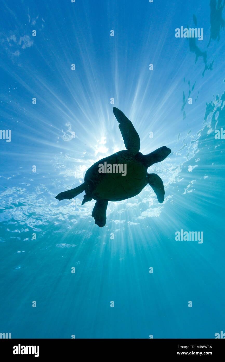 Tortue de mer verte et rayons de soleil Photo Stock