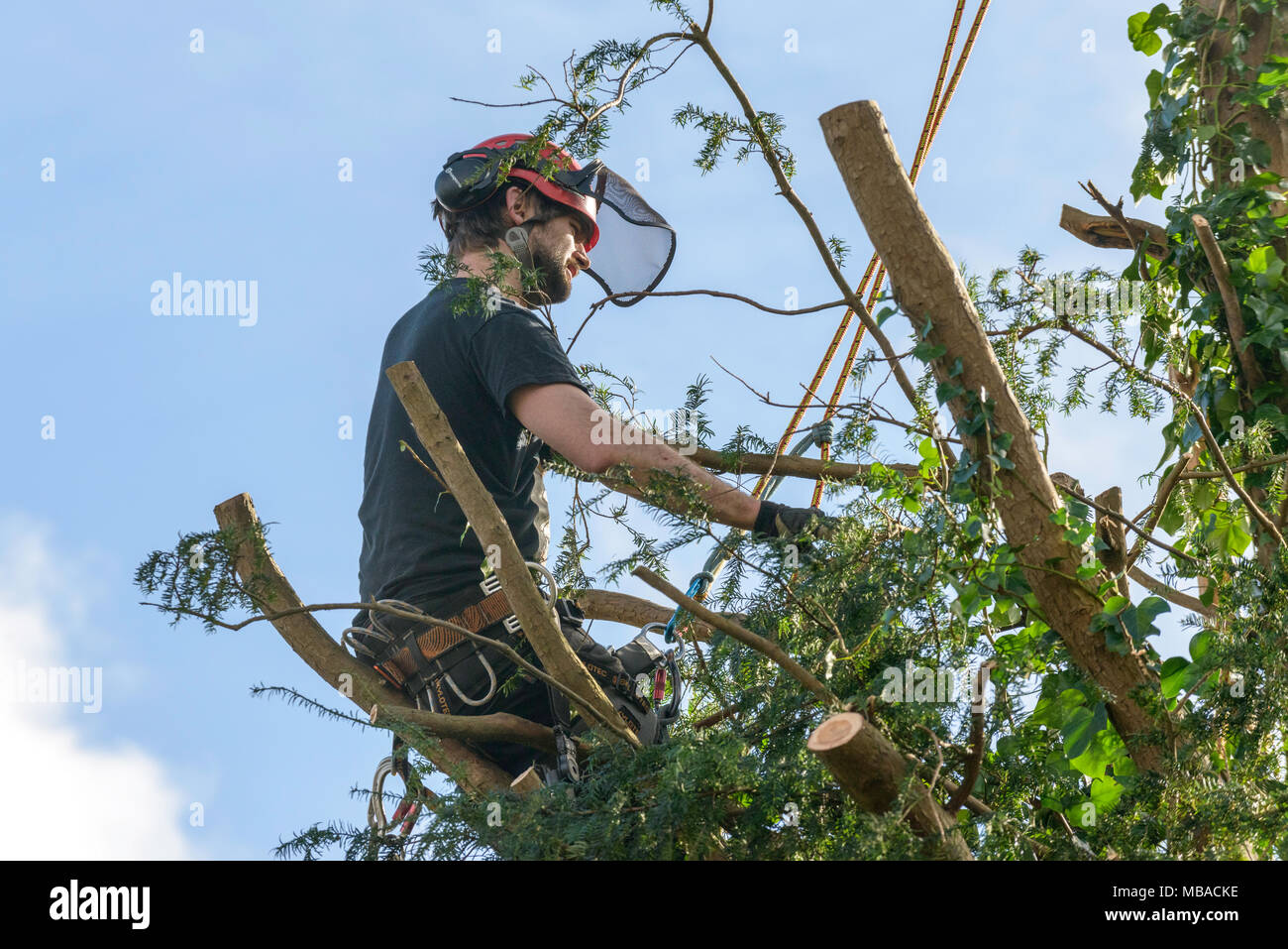 TREE SURGEON RETOUR FRAISAGE ARBRE D\'IF DANS LE JARDIN INTÉRIEUR UK ...