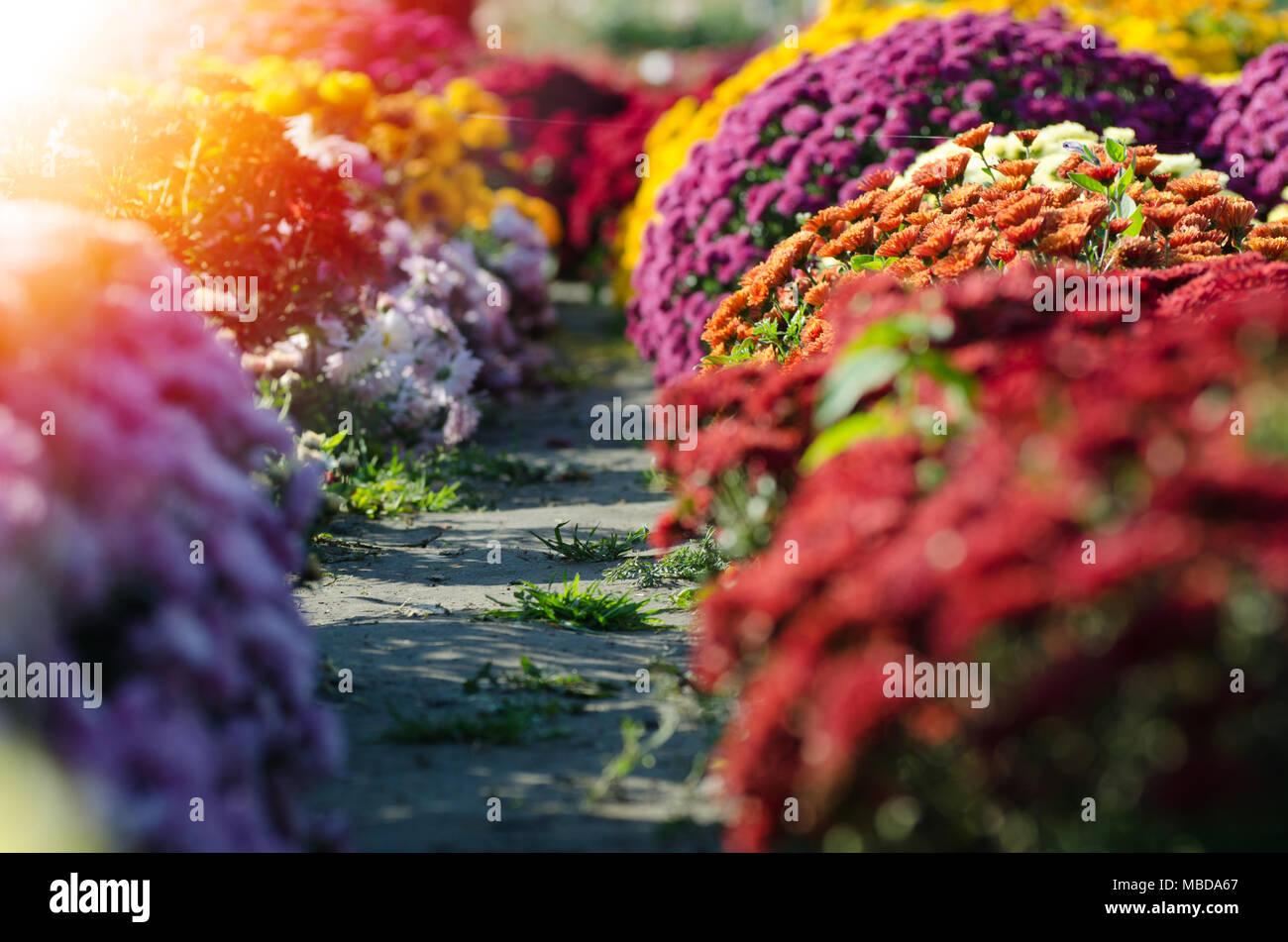 Chrysanthème rouge. Belle fleur d\'automne dans un décor de jardin ...