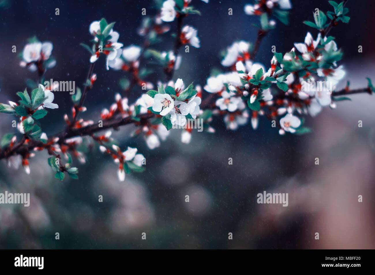 Fleurs de cerisier douce délicate au printemps fleuri et le ...