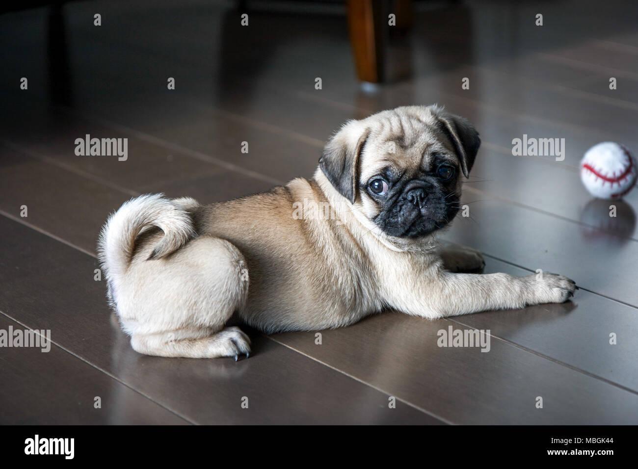 Chiot Pug jouant sur le plancher Photo Stock