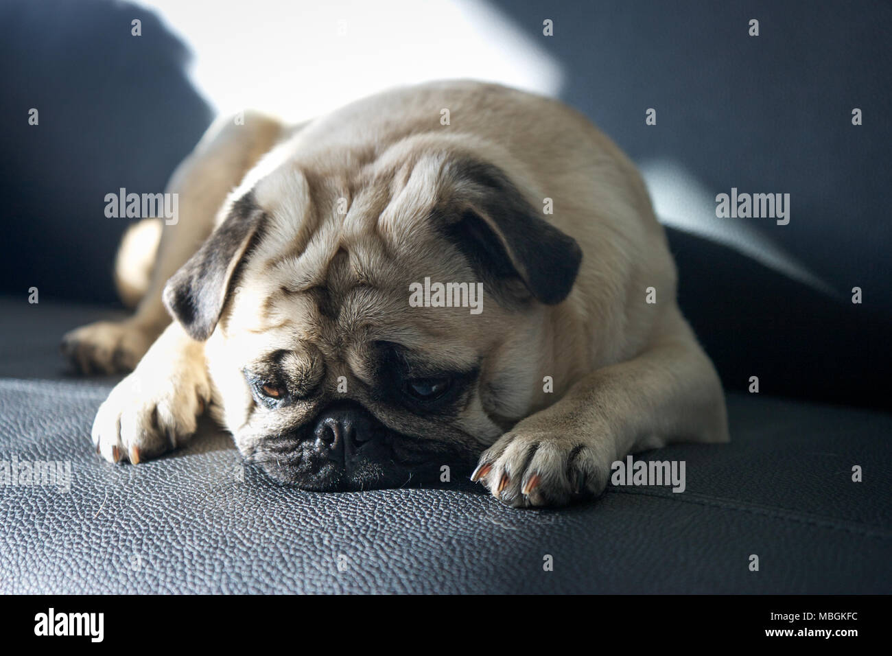 Le PUG misérable sur le canapé Photo Stock