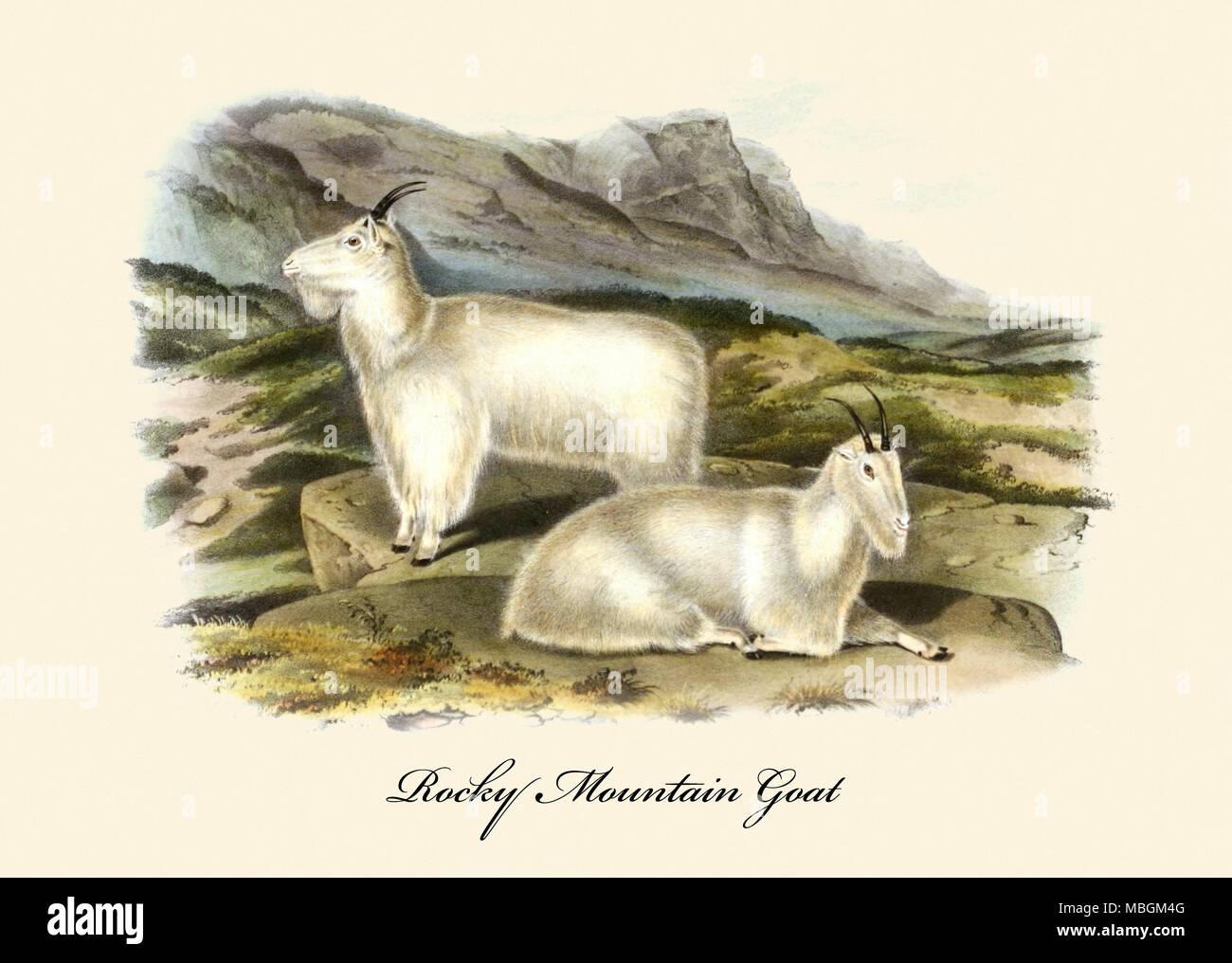 Chèvre des montagnes Rocheuses Photo Stock