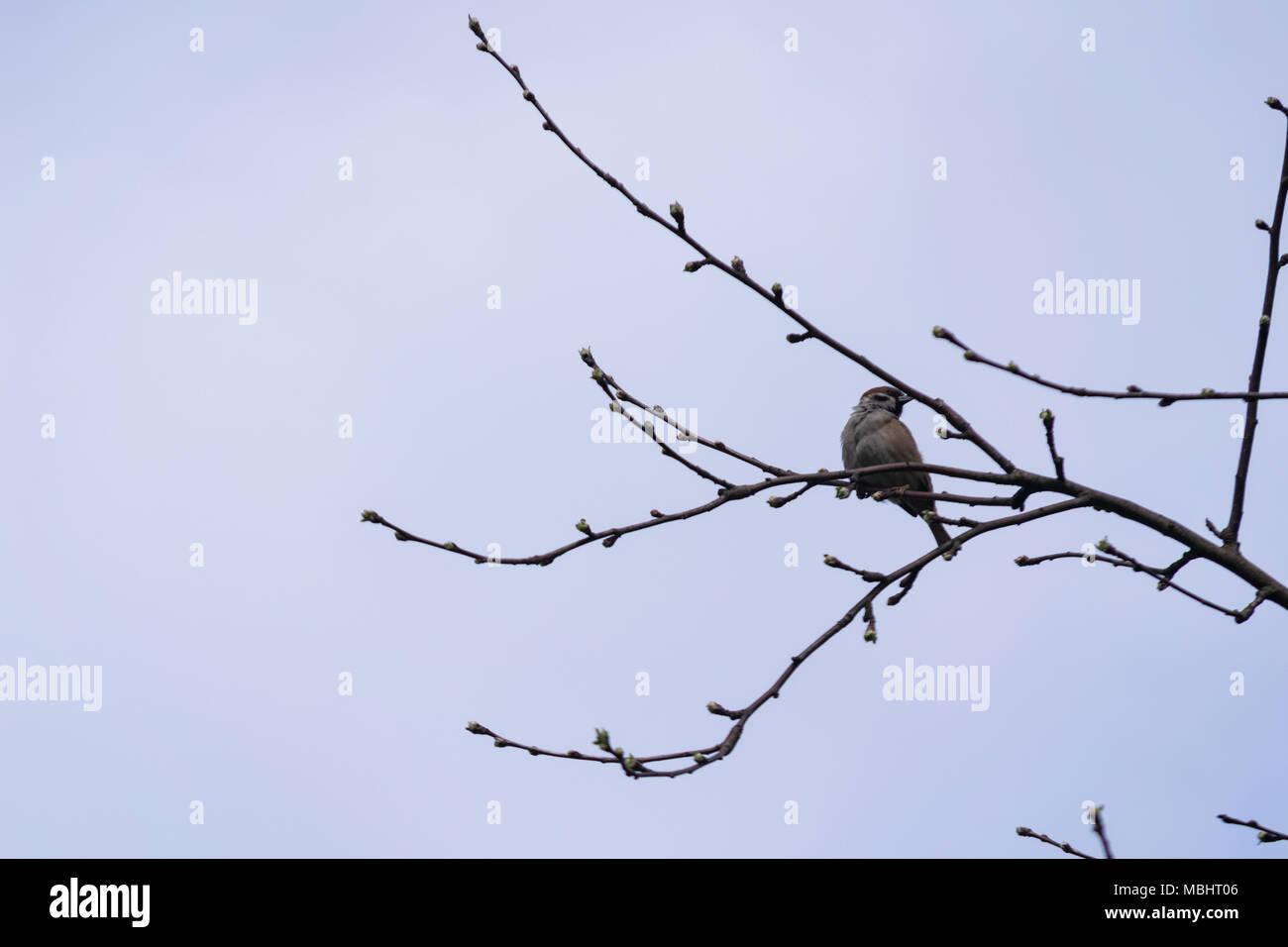 La Pologne, Głębowice, 11 Avr 2018. Les Moineau domestique (Passer domesticus). La population sparrow en Pologne est estimé à 5,7 - 6,9 millions de paires. Il représente près de 4 parties de la population européenne. Dans les années 80 du siècle précédent, il a été 3 fois plus qu'aujourd'hui. 20 mars, nous célébrons la Journée internationale de l'arrêt Sparrow. Credit: w124merc / Alamy Live News Banque D'Images