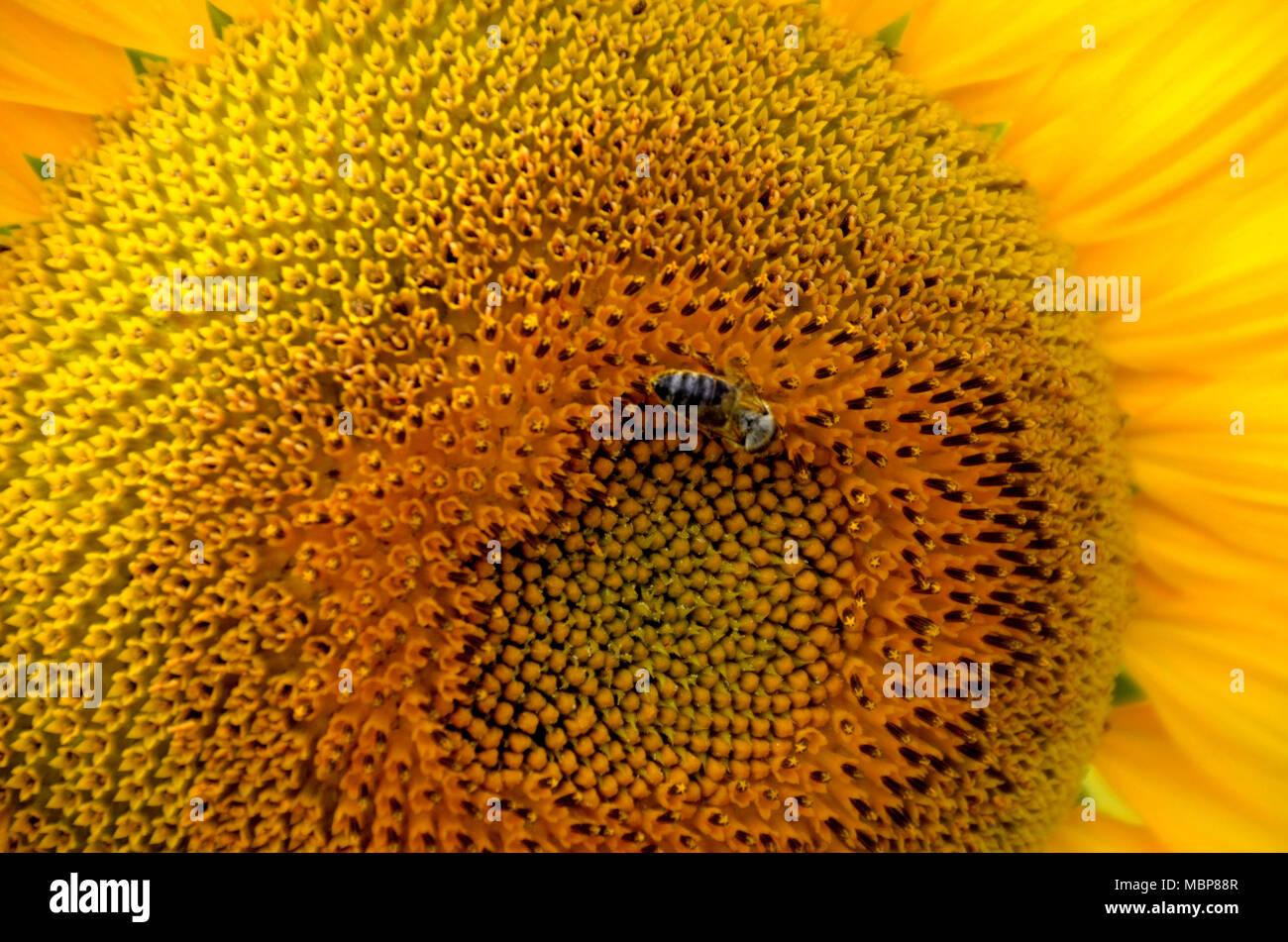 Close up d'un grand Tournesol jaune avec une abeille et pétales, peut être utilisé comme texture ou d'arrière-plan Photo Stock