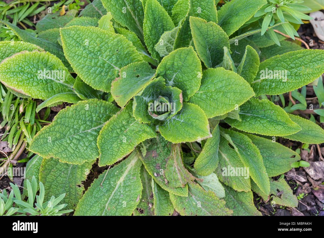 Vue d'en haut des feuilles de la digitale pourpre (Digitalis purpurea), qui sont utilisés pour rendre le médicament cardiaque digitaliques. Au printemps, en pleine croissance au Royaume-Uni. Photo Stock