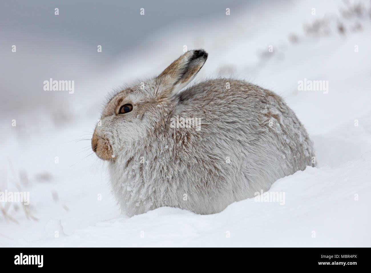 Lièvre lièvre / Alpine / neige hare (Lepus timidus) en pelage d'hiver blanc reposant sur hillside durant tempête Photo Stock