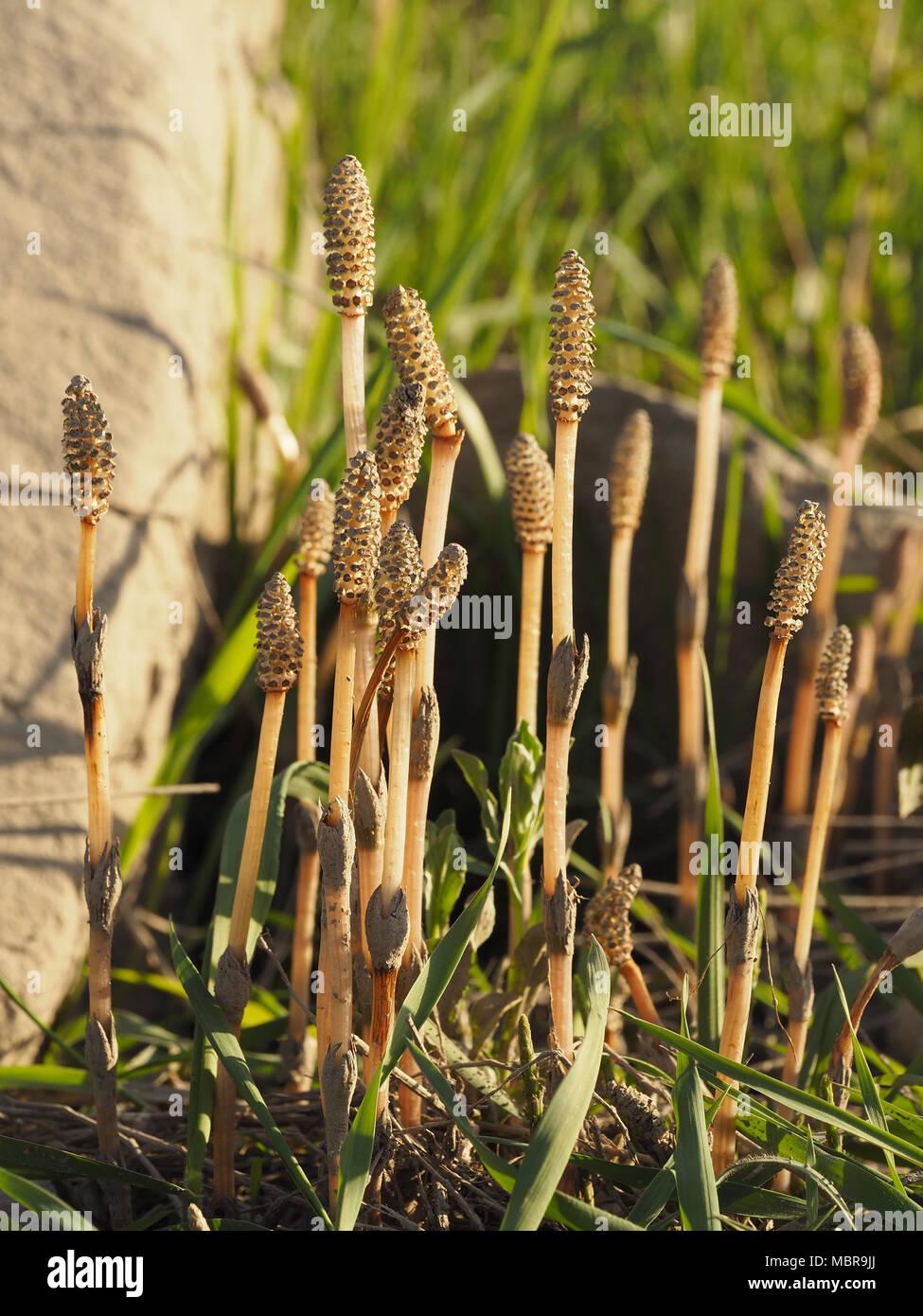 Equisetum arvense, la prêle des champs ou prêle commune, est une plante herbacée vivace plante en Equisetopsida Banque D'Images