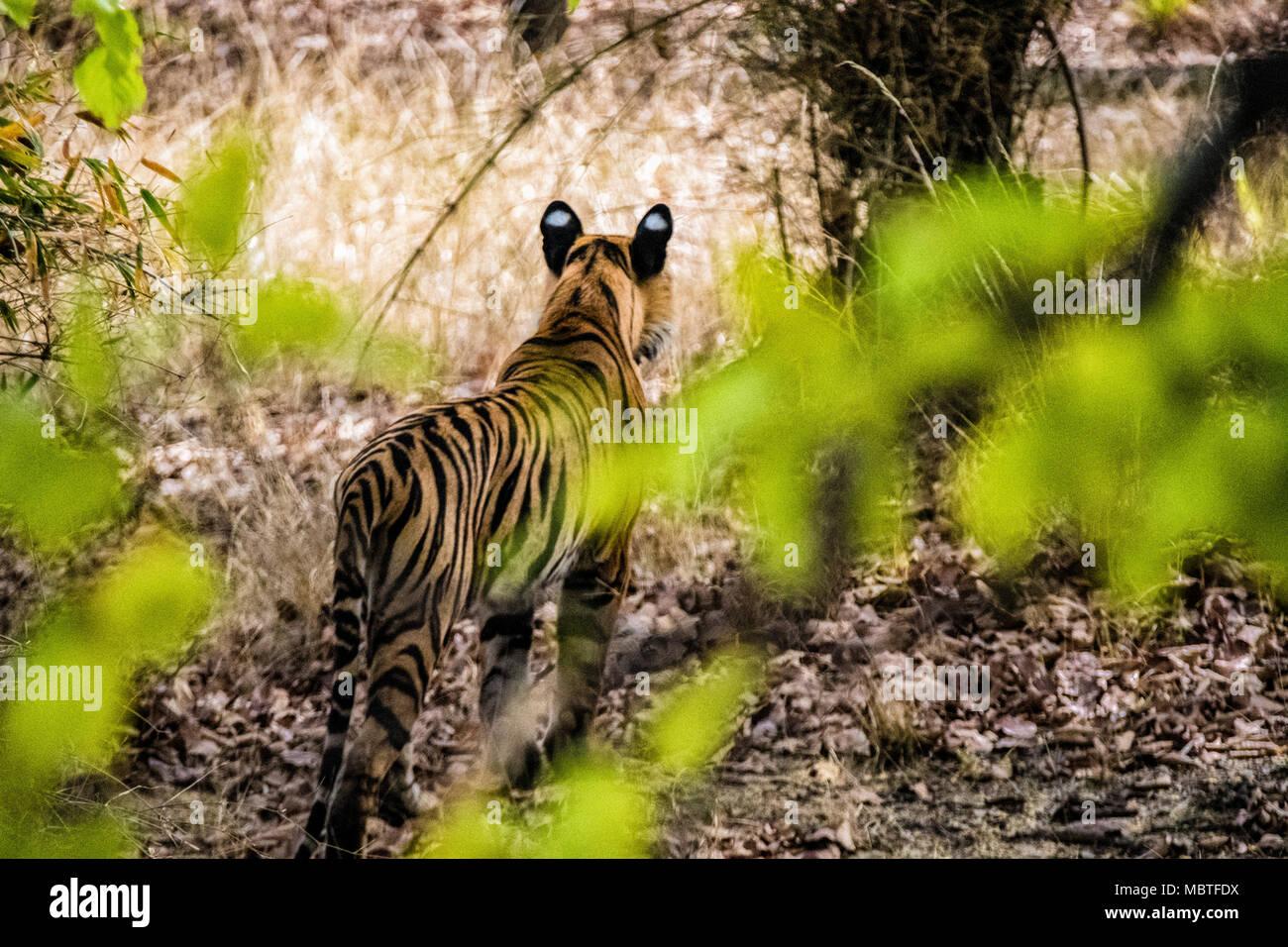 Vue arrière d'un solitaire deux ans mâles sauvages tigre du Bengale, Panthera tigris tigris, dans la jungle de la Réserve de tigres de Bandhavgarh, Inde Photo Stock