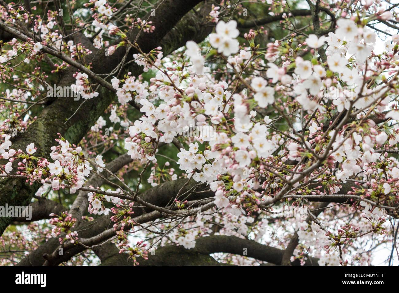 Les fleurs de cerisier sakura blanc à Hanami la saison du printemps à Kyoto, Japon Photo Stock