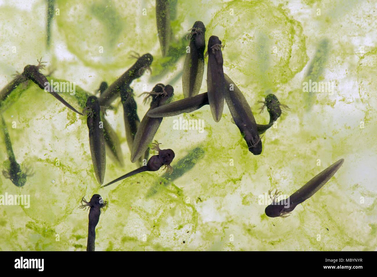 European common Frog, Rana temporaria, frogspawn avec éclos et l'éclosion, les têtards d'avril Banque D'Images