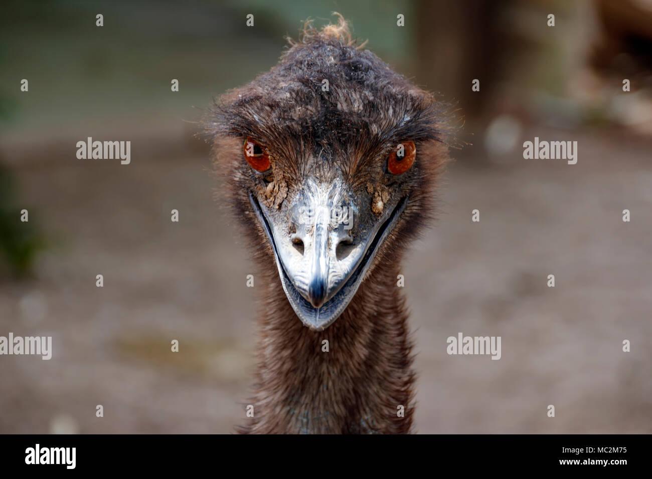 Portrait d'une Autruche Émeu. Tête de l'oiseau close-up Photo Stock